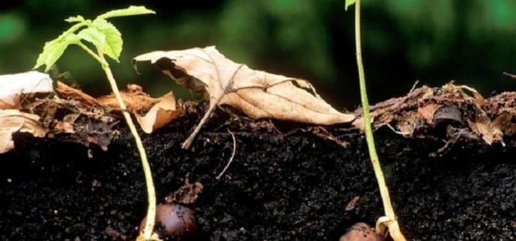 Выращивание каштана из ореха в домашних условиях