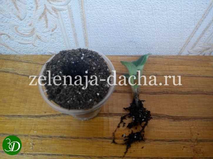 готовим лунку для молодого растения