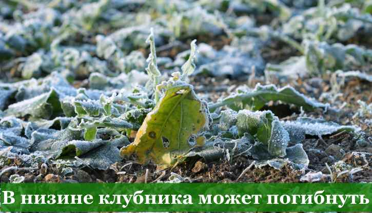 клубнику и садовую землянику нельзя сажать в низинах