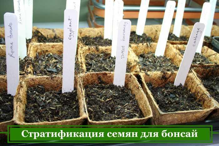 подготовка семян бонсай к посеву в горшки