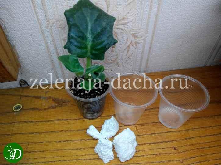 Подготовка к высаживанию деток фиалки и полив