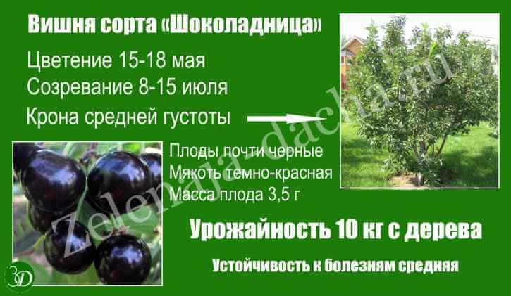 Описание и фото вишни сорта шоколадница
