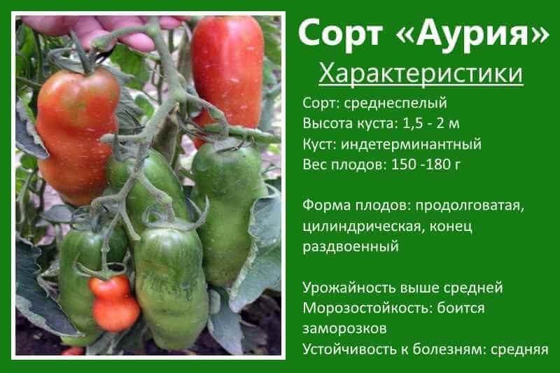 Основные характеристики сорта томатов Аурия с фото