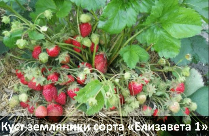 Фото куста садовой земляники сорта елизавета 1