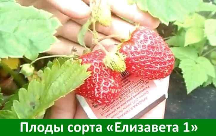 описание плодов земляники сорта Елизавета 1