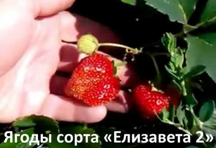 Фото ягод ремонтантной клубники Елизавета 2