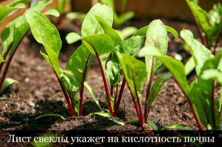 Лист свеклы может указать на кислую почвы