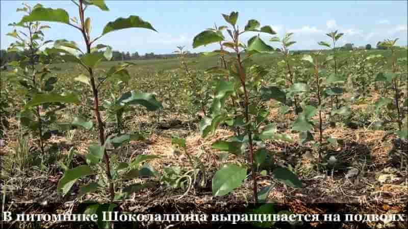 Вишня шоколадница выращивается на подвоях