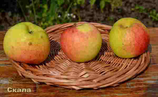Фото плодов яблони Скала