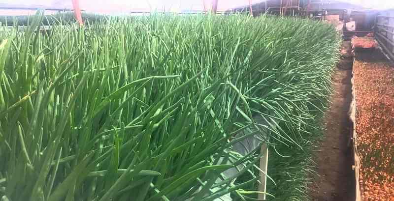 правильное выращивание зеленого лука на перо