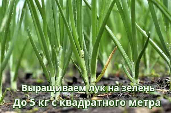 Как посадить лук на зелень и получить в два раза больше урожая