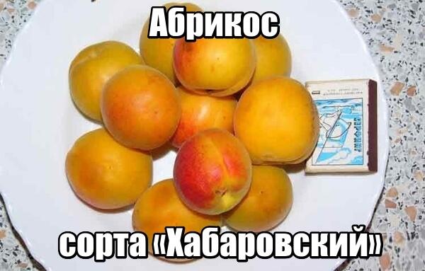 Описание и фото сорта абрикос «Хабаровский»