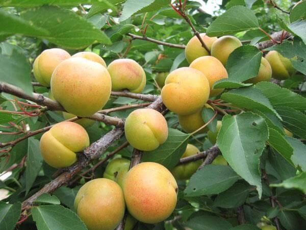 Описание сорта абрикоса Хабаровский