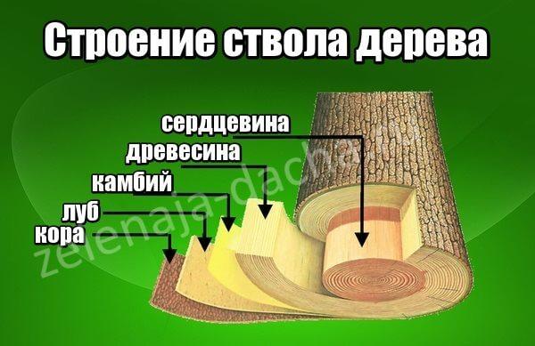 Строение ствола плодового дерева