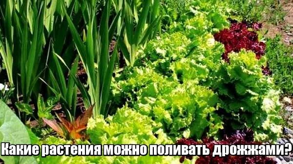 какие растения поливают дрожжами