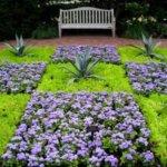 Агератум – выращивание из семян