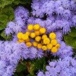 Как посадить агератум в открытый грунт и вырастить его?
