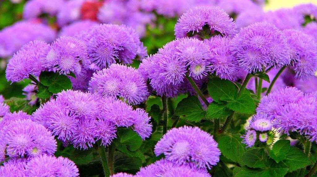 цветок агератум в посадке на клумбе