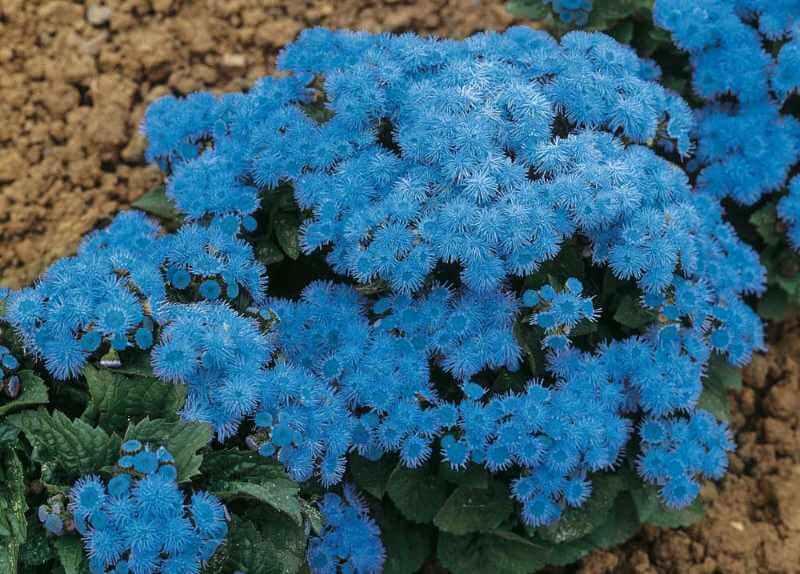 синий агератум
