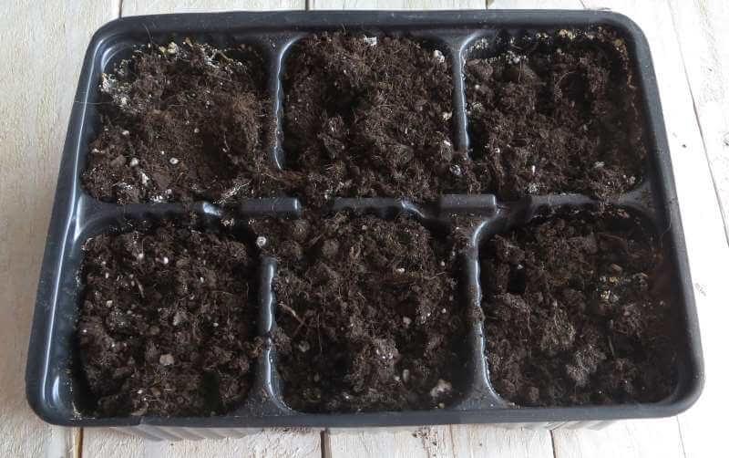 как вырастить агератум из семян