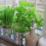 Выращиваем зимнюю зелень в собственной квартире на подоконнике