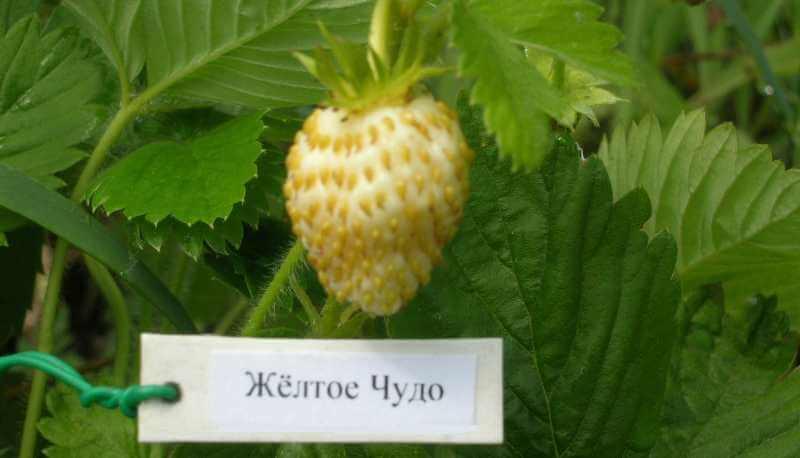 Плоды земляники сорта желтое чудо