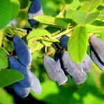 Посадка жимолости осенью: уход и советы