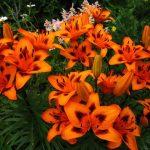 Посадка лилий: место, схема и выращивание