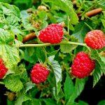 Как посадить малину осенью: выращивание и уход